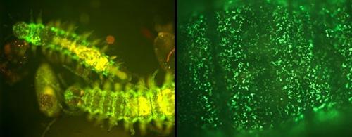 Bioluminescenza ed organismi Fotoluminescenti - Photoluminescent